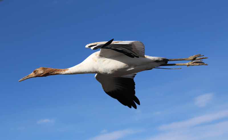 One of the Class of 2014 Whooping Cranes in flight November 27.