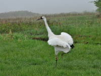 Crane #4 steps onto White River Marsh after his May 15 release there.