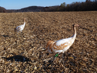 Cranes #4 and #10 after dropping out in a cornfield