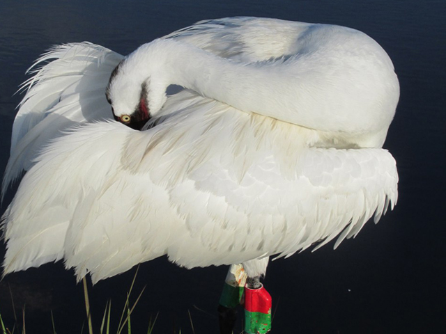 a Whooping Crane preening its feathers