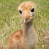 Crane chick #2-14