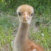 Crane chick #4-14