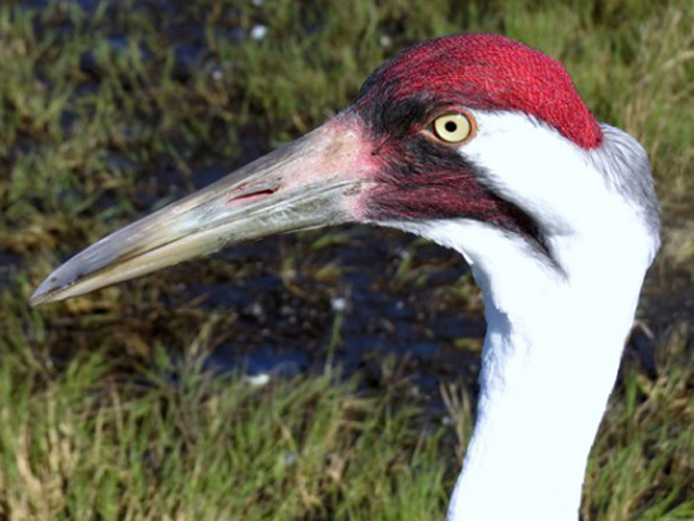 Whooping Crane adult: red crown on head