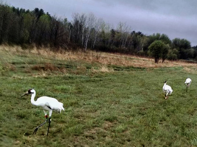 Cranes 8, 9, and 10 released in Wisconsin May 4, 2015