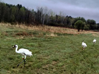 Cranes 8, 9 and 10 at White River Marsh, WI on May 4, 2015