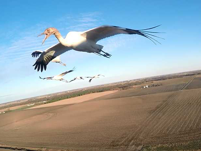Whooping Crane Migration, Fall 2015