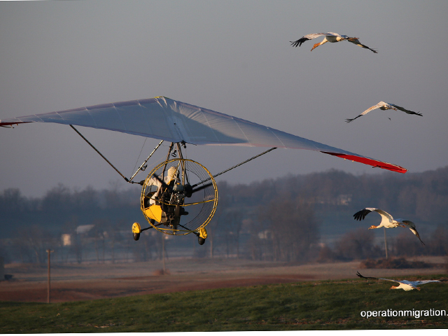 Young Whooping cranes taking off with aircraft leader