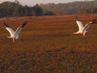 #2-15 is chased away from  the St. Marks NWR pen site by male #4-13