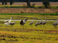 8-15 with Sandhill cranes in fall 201610