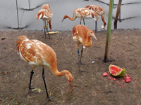 Young cranes like watermelon!