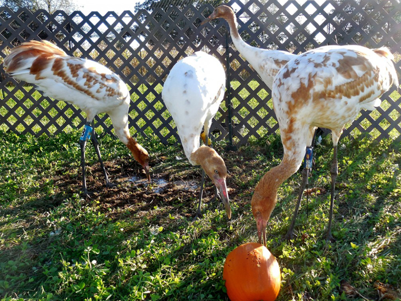 The young cranes attack pumpkins for amusement on no-fly days.