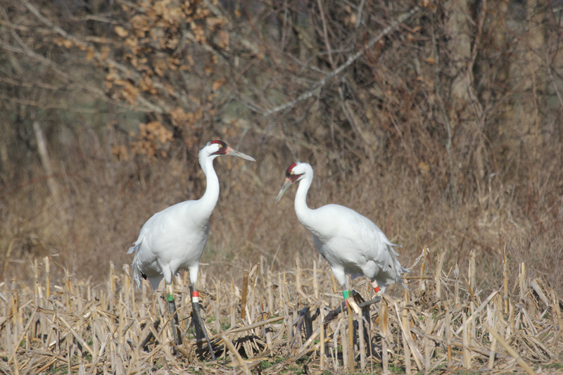 Pair #3-04 and #9-03 on their Illinois wintering grounds