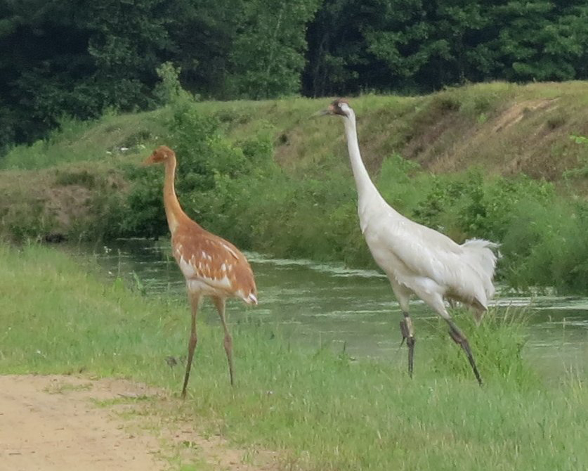 Whooping Cranes Watching Out for Humans width=