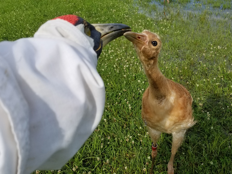 Whooping crane puppet