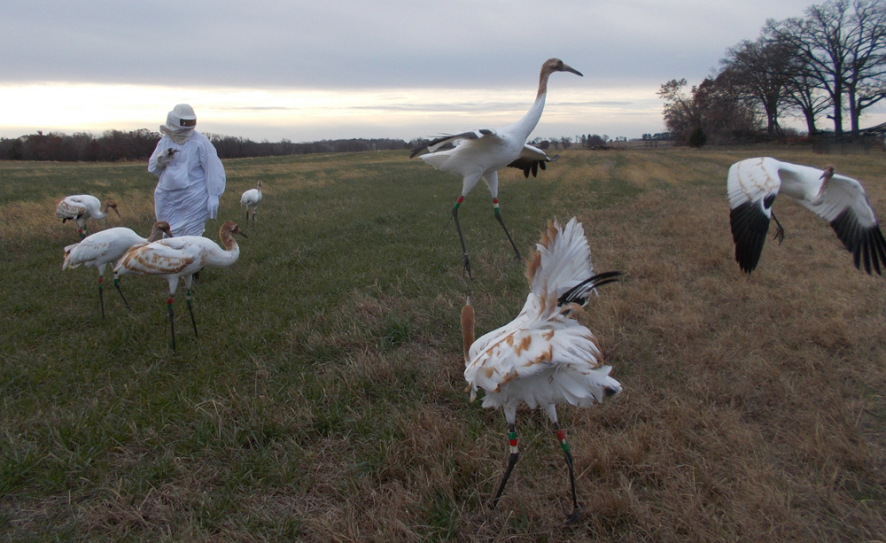 Whooping Cranes with Costumed Handler