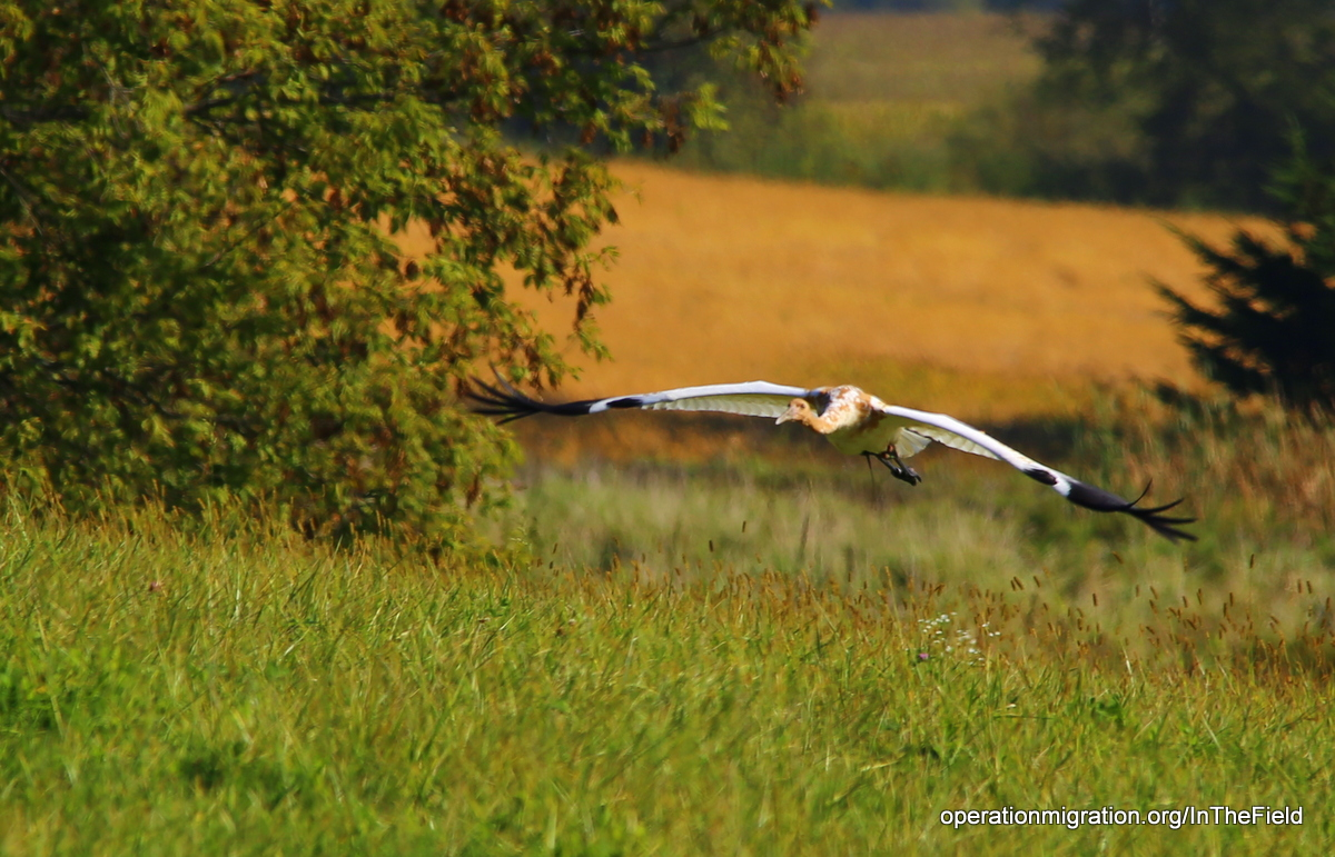 Parent-reared Whooping Crane