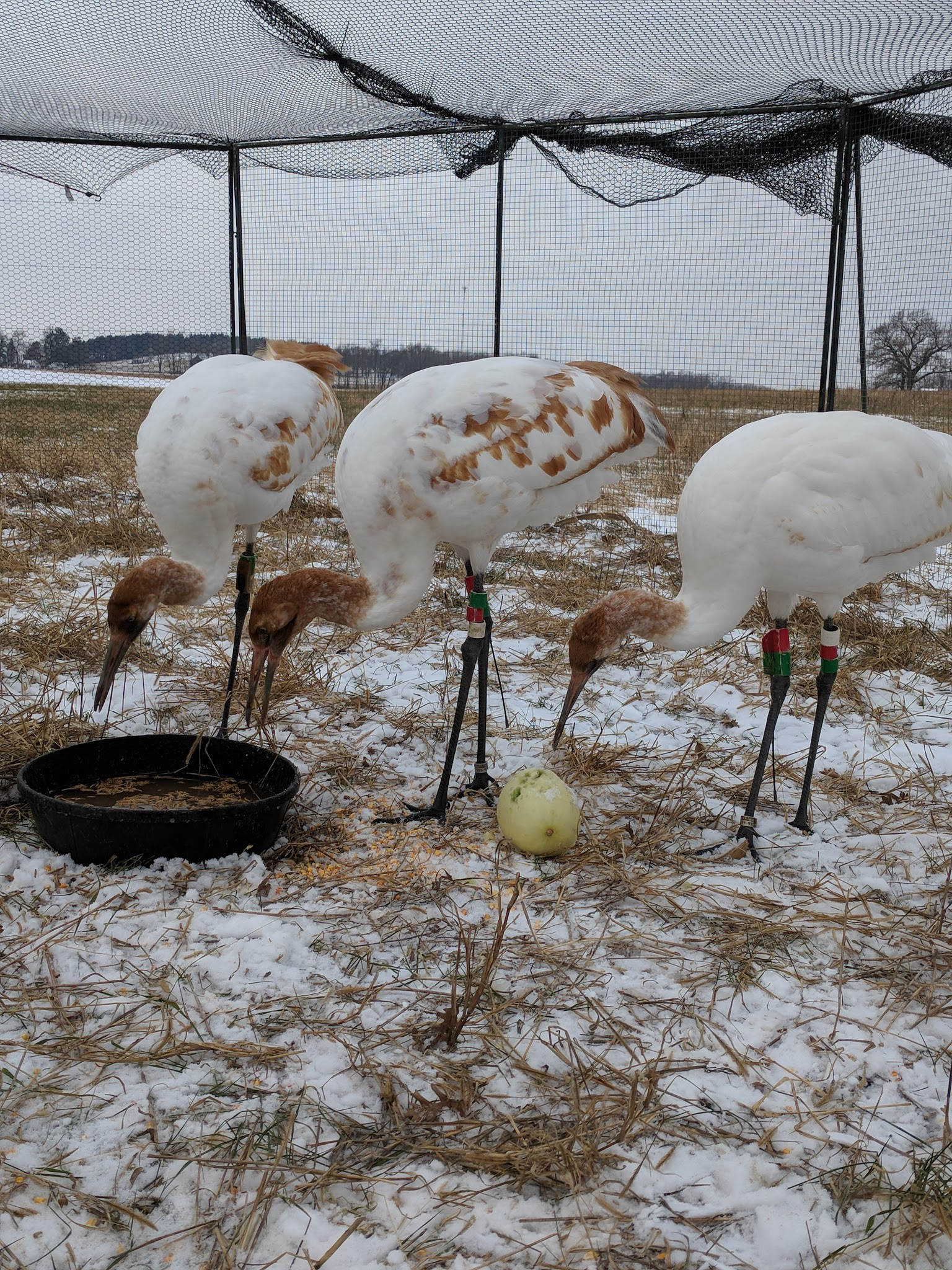 Whooping Cranes in Snow