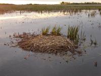 Whooping Crane Nest Cam