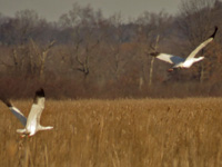 #3-14 on left, #4-12 on right at Necedah NWR March 2017