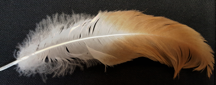 Whooping Crane Feather