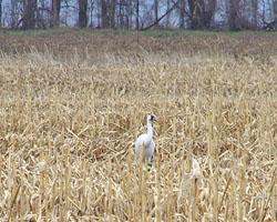 Cranes in a corn field