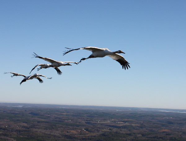 Six young Whooping cranes follow their ultralight aircraft leader on their first southward migration.