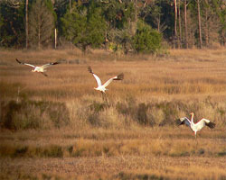 Whooping cranes flying over St. Marks NWR in Florida in winter