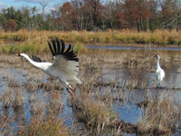 Whooping crane takes flight while mate watches.
