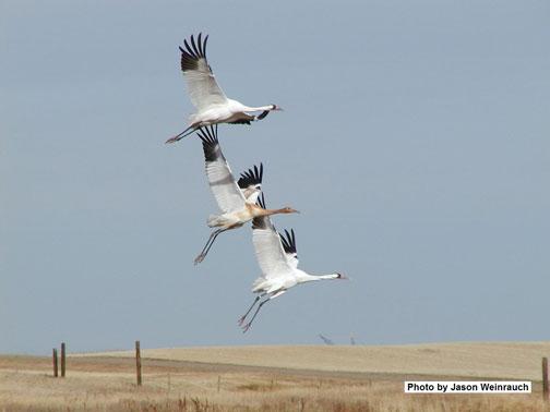 Pair of cranes in migration