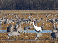 #28-05among sandhill cranes on her wintering grounds