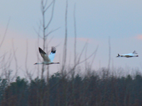 #W1-10 and  #918 fly over Necedah NWR on March 14, 2012 upon completing migration.