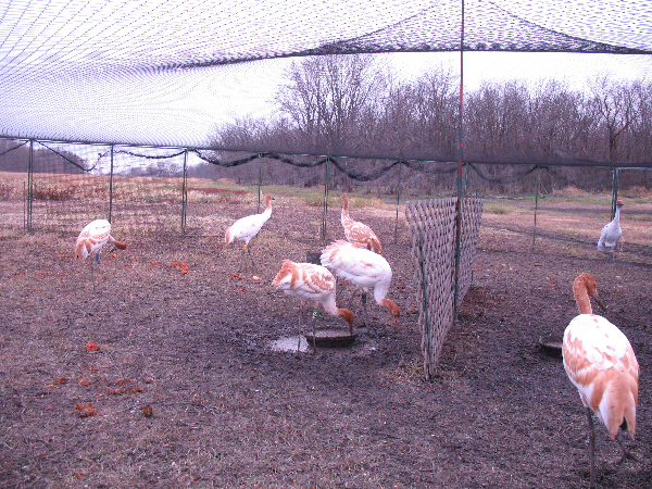 Young Whooping cranes play with pumpkins in their travel pen.