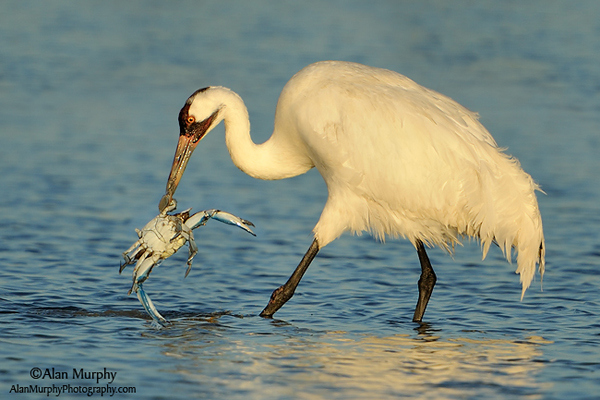 Whooping Crane eating crab by Alan Murphy
