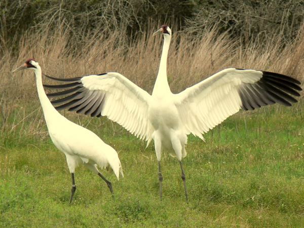 Crane pair courting by dancing