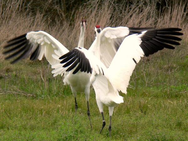 Adult Whoopng Crane pair dancing
