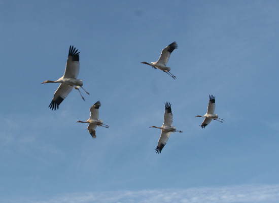 The young cranes exercise their wings by flying.