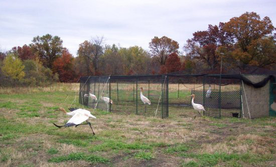 The young cranes are released for exercise on a no-fly day.