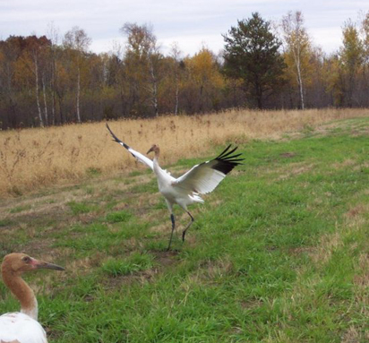 Young Whooping crane faces into the wind as it takes flight.