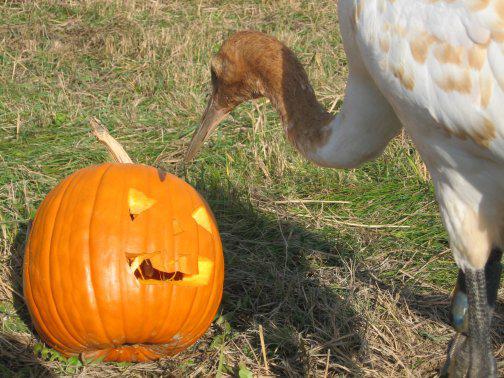 Whooping Crane investigates jack-o-lantern in the travel pen.