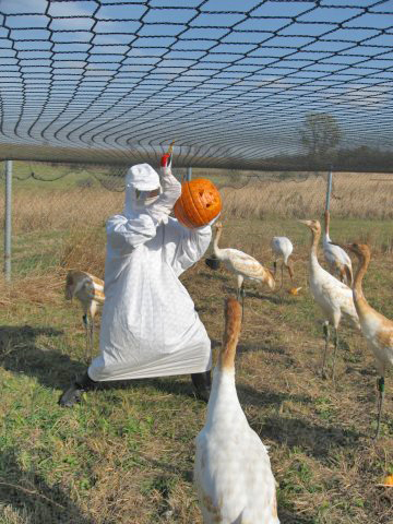 Whooping  cranes are penned with pumpkins on a no-fly day..