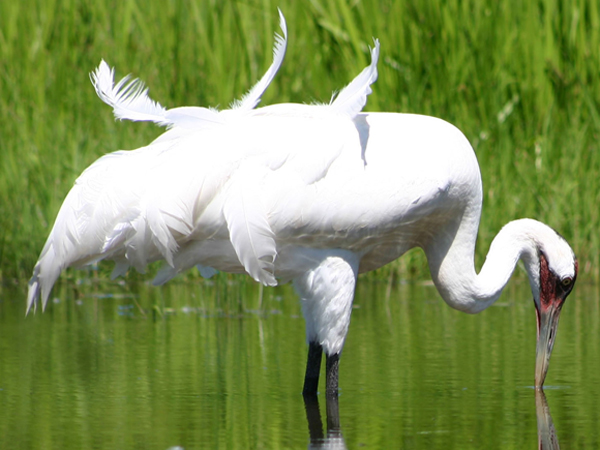 Whooping crane in process of molting