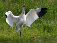 Whooping crane adult with chick