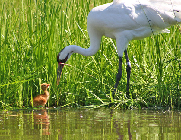 Adult Whooping Crane with new chick at water's edge
