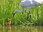 Whooping Crane Ecology