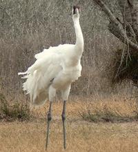 Adult male Whooping crane in need of grooming