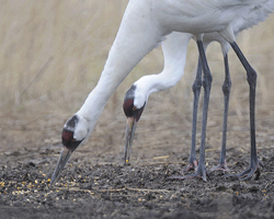 Two adult cranes eating corn in a field