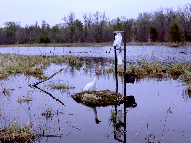 Whooping crane nest and decoy for black fly research with carbon dioxide traps
