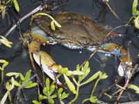 Blue crab, a favorite winter food of Whooping Cranes