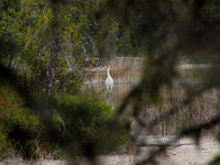 Whooping crane standing guard