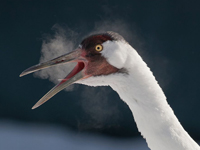 This crane's breath condenses in cold temperatures, creating a cloud by its mouth.